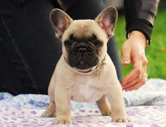 Sweet baby frenchie