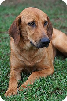 Labrador Retriever/Hound (Unknown Type) Mix Dog for adoption in Westport, Connecticut - Buffy was found under a bridge with her BFF Buffy & they should be adopted together.