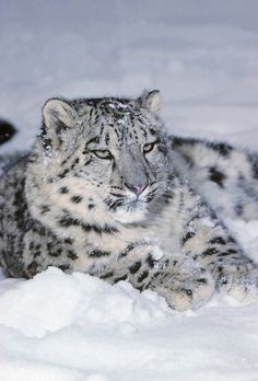 Snow leopard (Terry Whittaker Photography)
