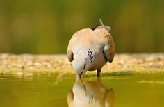 Streptopelia turtur ( European Turtle Dove ) - Dove Pigeon, Turtle Dove, Nature, Animals, Woodwind Instrument, Naturaleza, Animales, Animaux, Animal