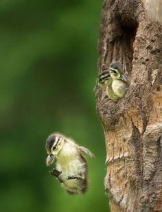 Image result for pictures of momma bird pushing baby birds out of the nest