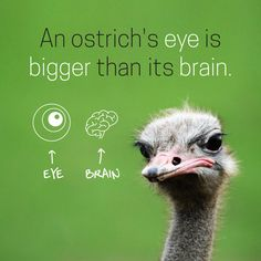 DID YOU KNOW that an ostrich's eye is bigger than its brain? When in danger, they lay their heads on the ground to protect themselves!