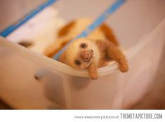 Baby sloths, how are you so cute?