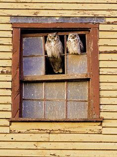Owls sitting on window of abandoned yellow building