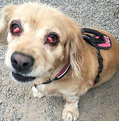 Pictures of Becca a 5 yr. old female Cocker Spaniel/Basset Hound mix for adoption at On Angel's Wings Pet Rescue, Gilbert, AZ who needs a loving home. Becca has had several surgeries for cherry eye none of which have worked & will be seeing a specialist.