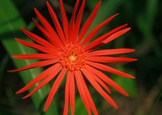Barberton Daisy - Small daisy with a rosette of irregularly shaped leaves; often deeply divided. The flowers are actually flower heads made up of many, small, tightly clustered flowers or florets. The flowers may be red, pink, orange or yellow and appear from August through to December.
