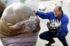A walrus hides its face in embarrassment as a man presents him with a cake made entirely of fish. @Adrienne Beneway