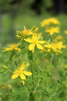 Johns Wort Plant ~ Identification and Uses Love Garden, Lawn And Garden, St Johns Wort Plant, Tree Mushrooms, Herbal Magic, Plant Identification, Wild Edibles, Diy Garden Projects, Edible Garden