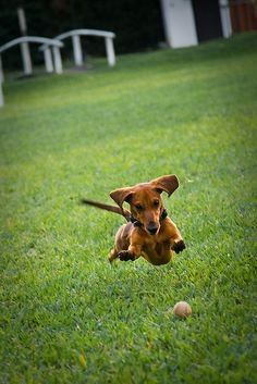 The flying Dachshund.
