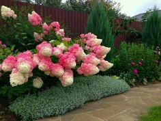 Strawberry and vanilla hydrangeas that looks like candy floss.