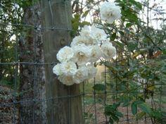 Hybrid Musk Roses | Earth Kind Roses | Antique Roses | Rose Petals Nursery