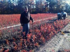 Our DiMeo family has been growing wholesale blueberry plants for sale direct to the public for generations. Give us a call to buy blueberry plants on sale now: http://www.DiMeoFarms.com