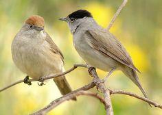 Eurasian blackcap (Sylvia atricapilla) couple