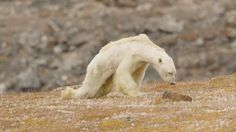 Our video of a dying polar bear has gone viral. Here's what we know about its fate and how it's related to climate change.