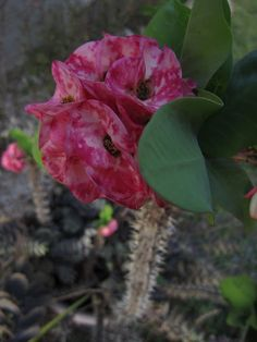 This is Euphorbia milii, commonly known as Crown of Thorns