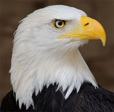 """English Facts: did you know that...#25 Bald Eagles are so named because """"balde"""" is an Old English word meaning """"white."""""""