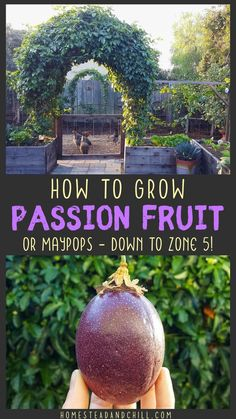 Learn how to grow passion fruit - including tips for planting, climate, pests, harvesting, and ongoing care - for both Passiflora edulis and Passiflora incarnata - aka maypops. Growing Passion Fruit, Yellow Passion Fruit, Passion Fruit Plant, Fruit Plants, Fruit Garden, Fruit Trees, Fruit Fruit, Herbs Garden, Container Gardening