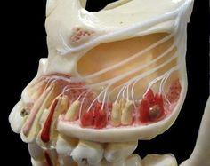 maxillary nerve Dental World, Dental Life, Dental Art, Dental Health, Dental Humor, Dental Hygienist, Dental Anatomy, Human Anatomy, Teeth Dentist