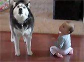 What This Husky Does with a Baby Will Melt Your Heart to Pieces - Aww!