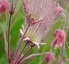 Geum triflorum 10 flower