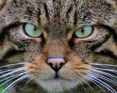 Photo of Wildcat Face for fans of Scottish Wildcat.