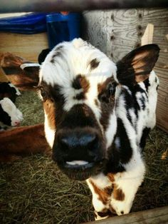 Pin this visit website farm animals cow painting baby cows cow art cow pictures cute cows highland cow cow quotes country life jersey cow pet cow baby calf cow pictures c. Baby Farm Animals, Baby Cows, Cute Little Animals, Cute Funny Animals, Animals And Pets, Cow Pictures, Animal Pictures, Pet Cows, Miniature Cows