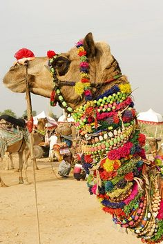 INDIA: Rajasthan's most famous festival is less and less about the eponymous camels and more about a good time, though the dunes outside of Pushkar are still a sight (and a smell) to behold when the cameleers come to town. Camelus, Jaisalmer, Photos Voyages, We Are The World, Foto Art, Incredible India, Amazing, India Travel, Beautiful World