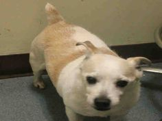 SAFE - 03/30/15 --- SUPER URGENT 03/23/15 Brooklyn Center   WAVERLY - A1031074   WHITE / TAN, CHIHUAHUA SH MIX, 10 yrs STRAY - STRAY WAIT, NO HOLD Reason STRAY  Intake condition UNSPECIFIE Intake Date 03/23/2015 https://www.facebook.com/Urgentdeathrowdogs/photos/pb.152876678058553.-2207520000.1427325952./982173725128840/?type=3&theater