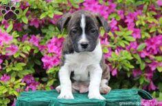 Boston Terrier Mix puppy