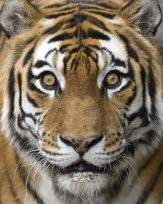 Happy #TigerTuesday!  Photo credit: Jennifer Kohlman