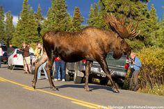 Visitors to Denali National Park watch as a Bull Moose crosses the road, Denali National Park, Alaska More