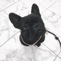 French Bulldog Puppy, pinterest//pmooose
