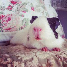 cute pig :)