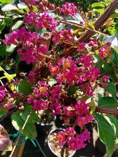 De Lagerstroemia Indica 'Rosea Nova' is een bijzonder mooie meerstammige boom, die tussen juli en... Lagerstroemia, Nova, Myrtle, Plants, Exotic Flowers, Exotic, Plant, Planets