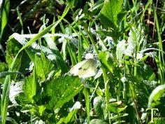 Mariposa blanca en la hierba #Spain #CanaryIslands #GranCanaria