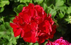 'Calliope' är det lyckade resultatet av en korsning mellan vädertåliga hängpelargonen och den blomrika zonalepelargonen.