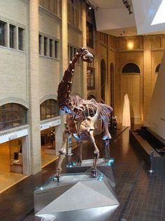 Futalognkosaurus dukei, Royal Ontario Museum, Toronto, Canada.