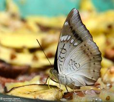 libutron:      Baron Female | ©Suvrashis Sarkar      The Common Baron, Euthalia aconthea (Nymphalid). Native to India and Southeast Asia.