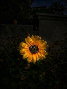 Yellow Sunflower In Bloom · Free Stock Photo Dandelion, Cool Art, Flowers, Plants, Yellow Sunflower, Free Stock Photos, Bloom, Photography, Photograph