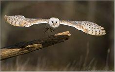 Barn Owl (photo By Raymond J Barlow)