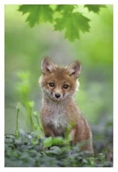 Giclee Print: Red Fox Pup by Nick Kalathas : 38x26in
