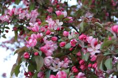 Crabapple tree loaded with blooms