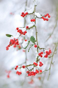 Snow berries  www.liberatingdivineconsciousness.com