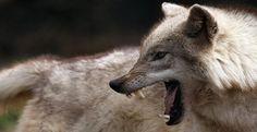 Alpha-Tiere unter sich: aus einem Wolfsrudel aus Einzelkämpfern sollen Teamplayer werden - HRweb