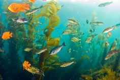 scuba diving in Catalina Island's kelp forest. Creepy when descending but absolutely beautiful once inside!