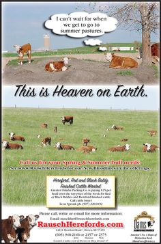I love our Hereford cattle! Yes, the etiquette lady is also a cattle baroness  agriculturalist!