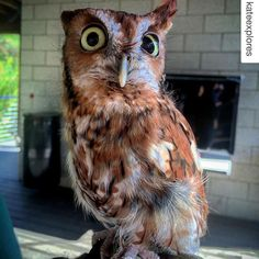 #Repost @kateexplores with @repostapp.  This is ziggy the screech owl. So Adorbz. #nature #wildlife #owls #saturday #getoutside #exploremore #naturegram #keepitwild #ruffnermountain #birmingham #al