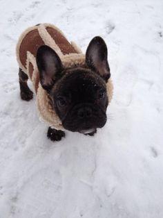 French Bulldog Wilbur