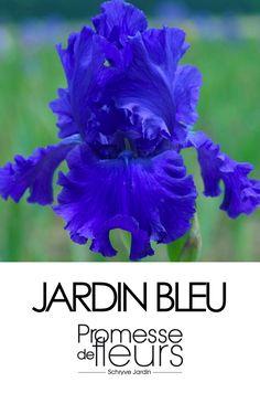 Les nouveautés Iris Germanica sont là et disponibles !! A voir sur le site:Iris germanica Blue Crusader, visible ici: http://www.promessedefleurs.com/vivaces/vivaces-par-variete/iris/iris-germanica/iris-germanica-blue-crusader-p-5501.html