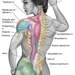 By Stephen E. Alway, Ph.D., FACSM Your back can be made more vulnerable to injuries if your job requires you to sit for long periods of time. This causes your hamstrings to shorten and pulls on the pelvis to impact the middle and lower back muscles, which...